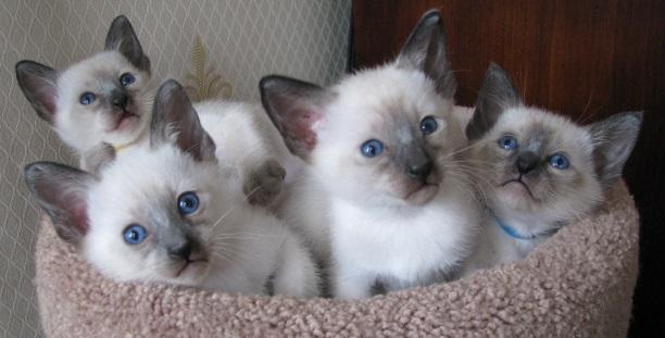 how to litter train a 6 week old kitten